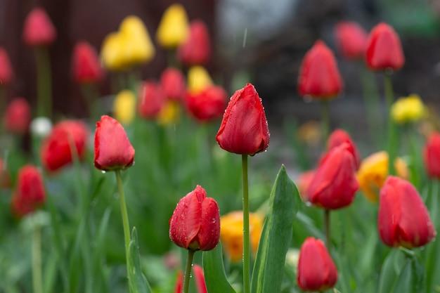 チューリップの花畑。チューリップの花のカラフルな庭。露の花