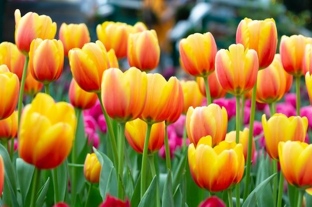 庭のチューリップの花