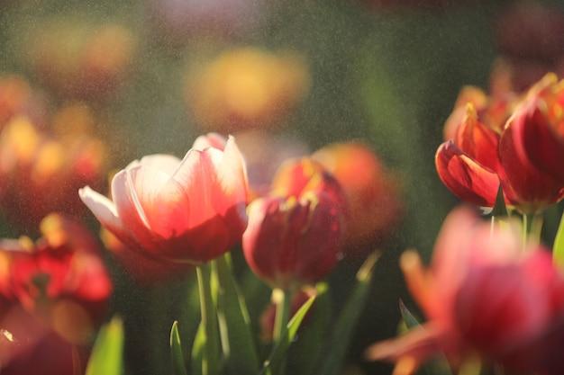 Цветы тюльпана на закате и капле дождя