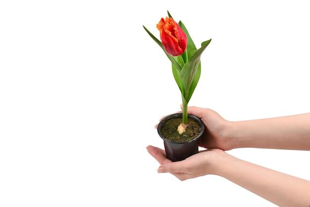 Тюльпан в горшке в руках женщины, изолированные на белом фоне.