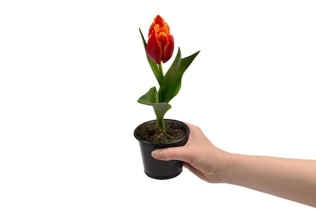 Тюльпан в горшке в руках женщины, изолированные на белом.
