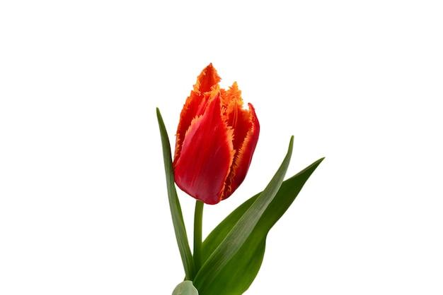 Тюльпан в горшке на белой стене.