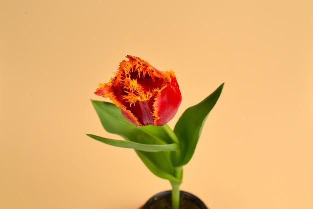 Тюльпан в горшке на красном фоне. скопируйте пространство.