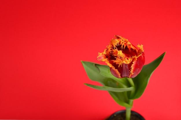 Тюльпан в горшке на красной поверхности
