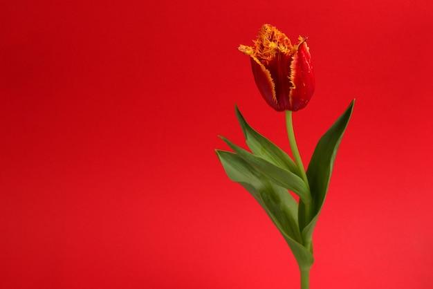 Тюльпан в горшке на красной стене. скопируйте пространство.