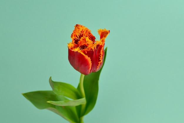 Тюльпан в горшке на красном.