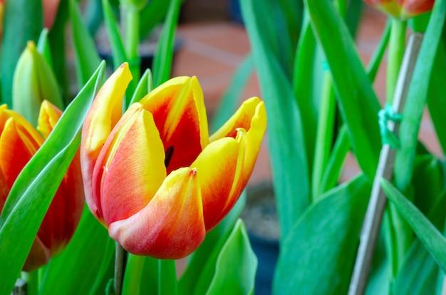 Tulip pattern background blurred
