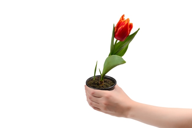 Tulip in a pot in woman hands isolated on white.