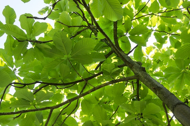 Tulip tree trunk with dense foliage and branches