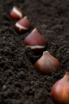 グループプランで地面の溝に植えられたチューリップ塊茎。庭の秋または春の植栽の概念。チューリップの植え方。