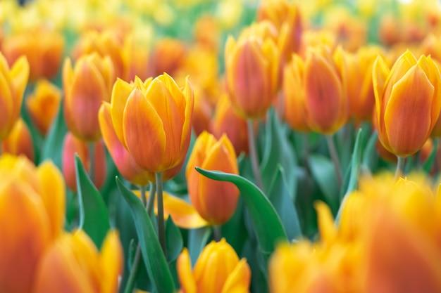 チューリップの花束(tulipa spp。l.)庭に温かい雰囲気を与えます。ガーデニングのアイデア