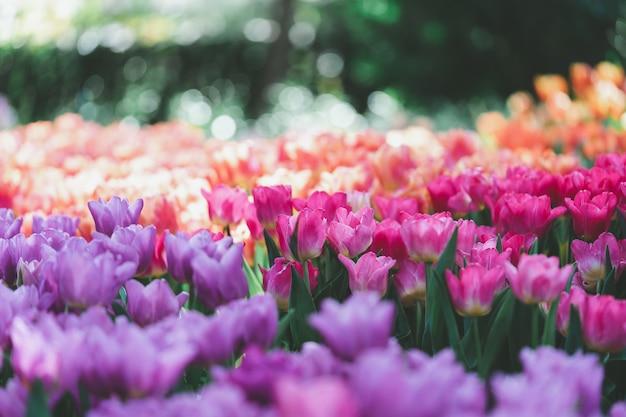 窓からの光とチューリップ(tulipa spp。l.)の花束。暖かい気持ちを与える