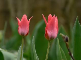 Tulips after rain