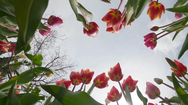 튤립 배경입니다. 아름다운 튤립. 햇빛에 봄에 푸른 하늘에 꽃 봉 오리. 4k
