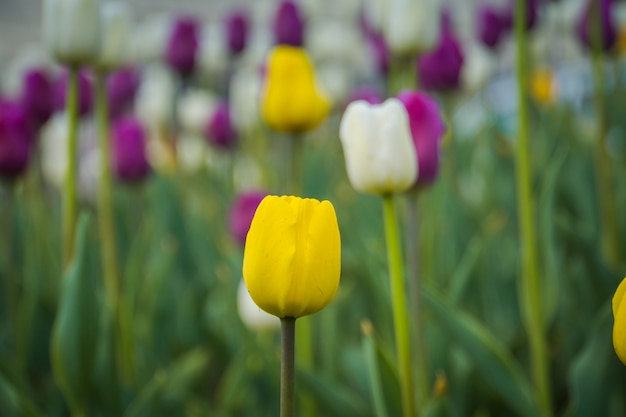Tulips blooming in the flowerbed