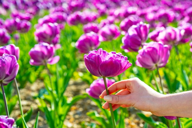 Tulips field. tulip in woman hands. tulip flowers in spring blooming blossom scene.