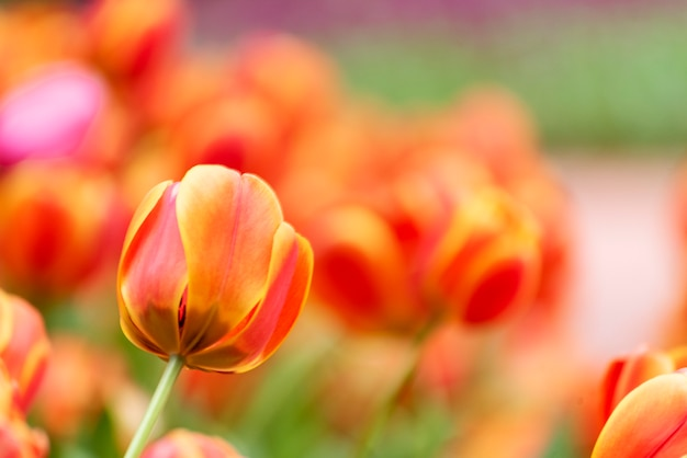 緑の自然と春の花の庭にチューリップの花が咲きます。