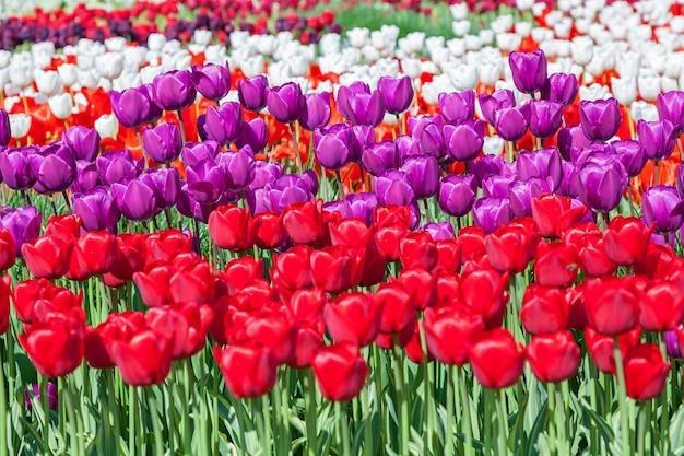チューリップ、さまざまな形や色で咲くチューリップの花壇、公園で最初の春のチューリップ