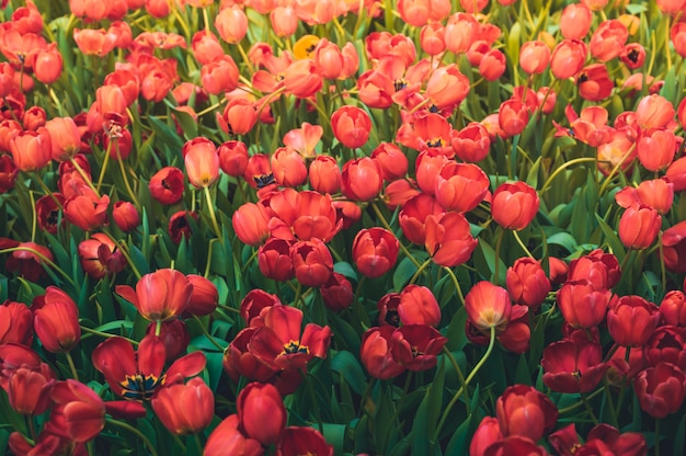 Цветок тюльпанов в саде, предпосылке природы.