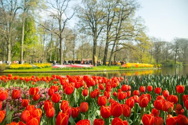 튤립 꽃 keukenhof 농장입니다. 네덜란드 암스테르담의 봄 시즌.