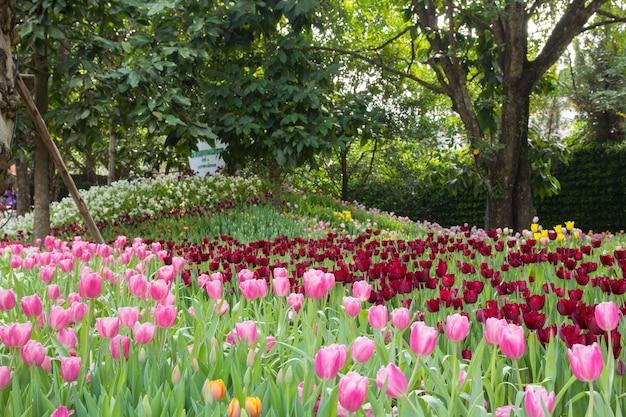 Tulips flower in spring season