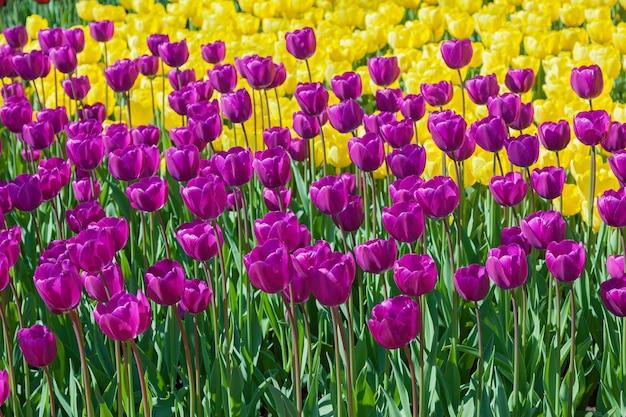 さまざまな形や色で開花するチューリップの花壇最初の春のチューリップ