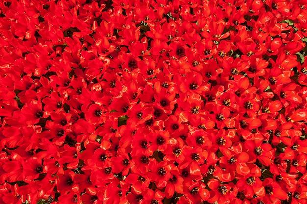 Клумба тюльпанов с тюльпанами, распускающимися разной формы и цвета первые весенние тюльпаны