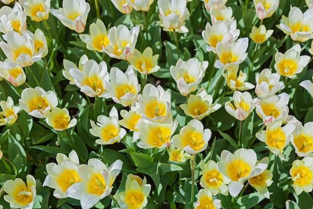 Клумба тюльпанов с тюльпанами, распускающимися разных форм и цветов