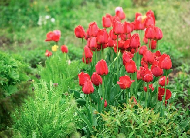 Цветы тюльпанов на размытом фоне природы. весенний фон