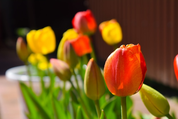 Tulips in the garden. horticulture in the summer on the nature