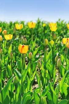 チューリップは花壇に自然光がたっぷりと生えています。青い空と自然の中で赤と黄色のチューリップ。コピースペース。セレクティブフォーカス。
