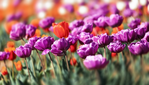 街の花壇のチューリップ、セレクティブフォーカス。咲くチューリップ。春のチューリップガーデン。