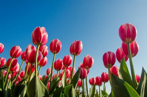 Тюльпаны в поле