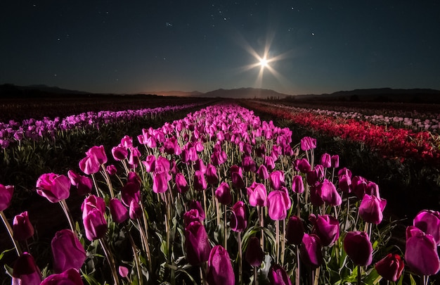 Tulips in the night. growing tulips in trevelin, patagonia,argentina. under the light of a full moon
