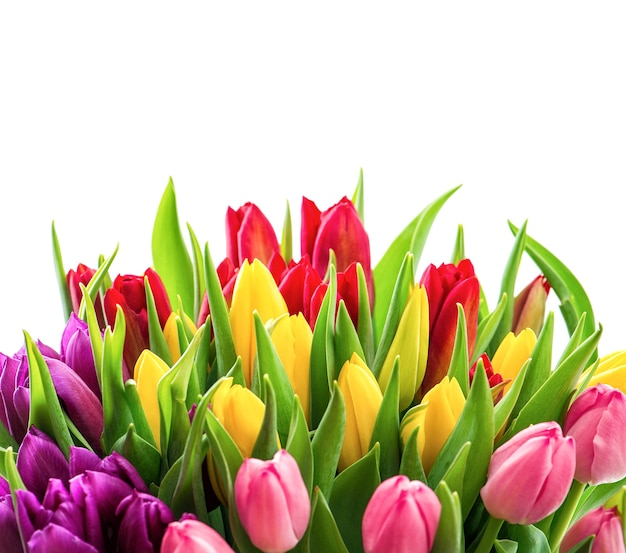 Тюльпаны на белом фоне. букет из свежих ярких весенних цветов