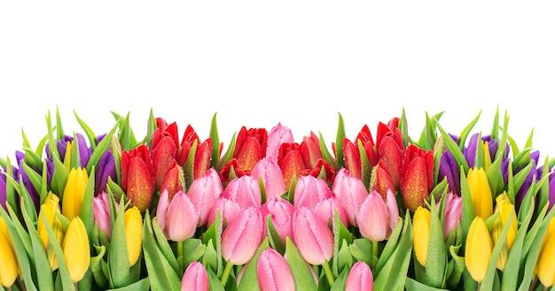 Тюльпаны на белом фоне. свежие весенние цветы с каплями воды