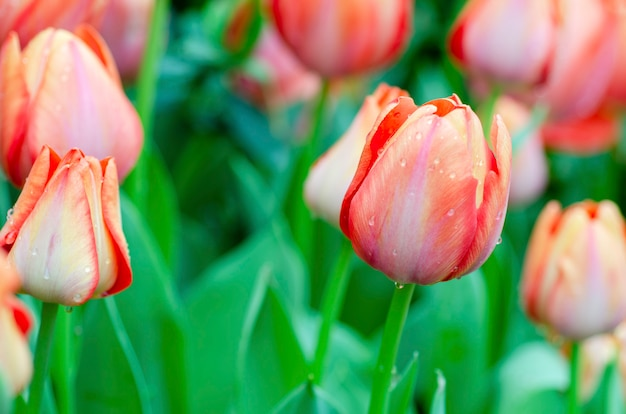 Tulips with blurred pattern background