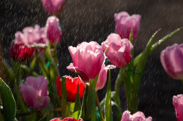 Tulips with raindrops.
