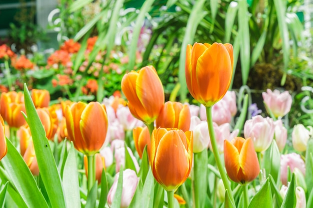 Tulips Free Photo