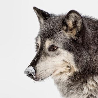 Тундровый волк на белом фоне