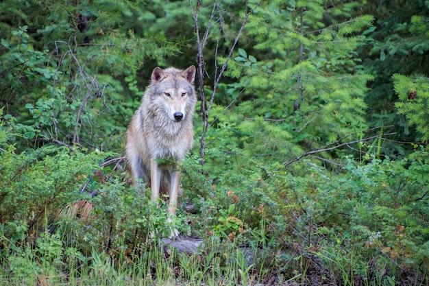 Тундровый волк позирует на валуне у опушки леса