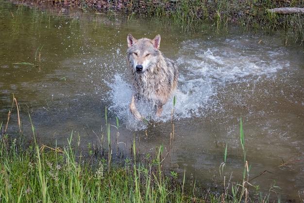 Tundra wolf running fast and splashing through water