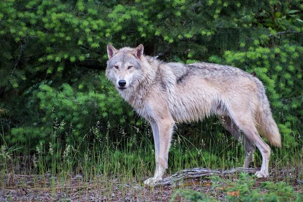 Тундровый волк стоит перед ярко-зеленым сосновым лесом
