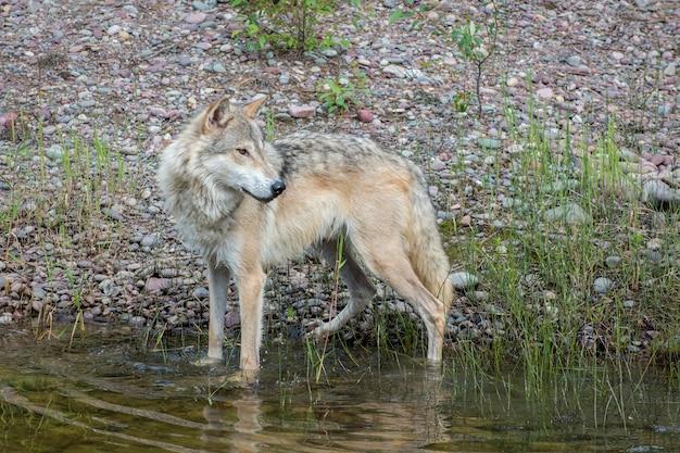 Тундровый волк стоит прямо у береговой линии водопоя