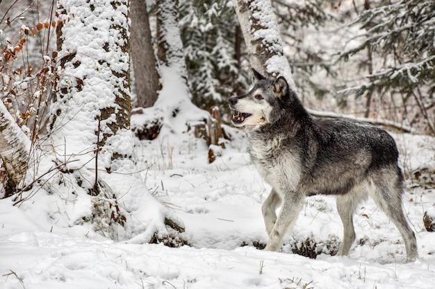 Волк тундры гуляя через березы