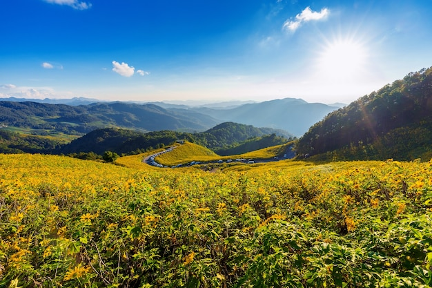 Tung bua tong mexican sunflower field at mae hong son province in thailand.