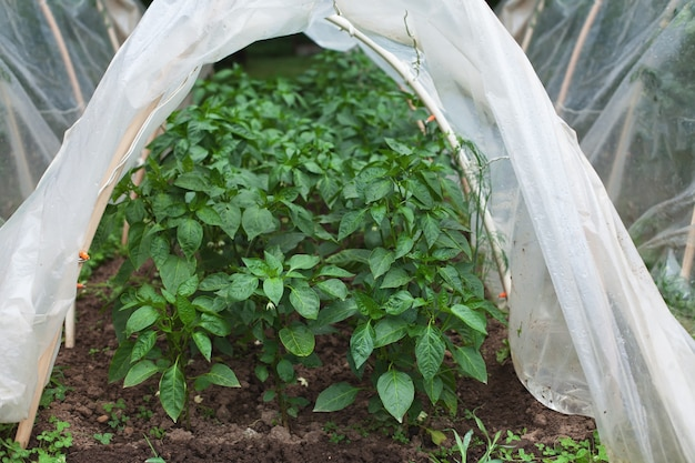 Tunnel shaped plastic greenhouse. green young shoots of pepper