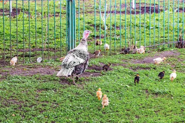 農場の庭に小さな七面鳥がいるトルコ