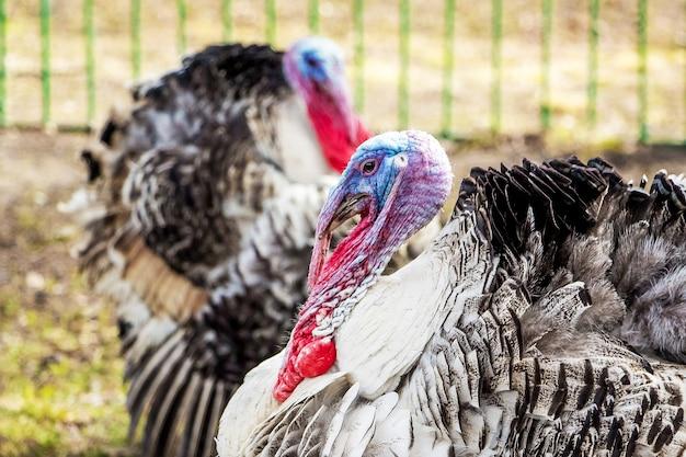 農場の庭の七面鳥。七面鳥の栽培。家禽
