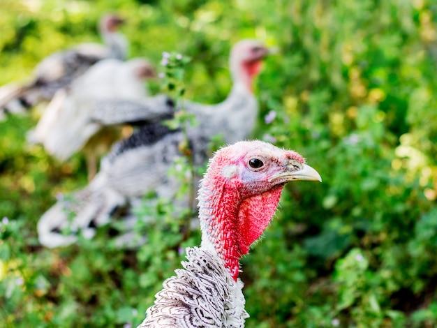 農場の庭の七面鳥。トルコの肖像画をクローズアップ